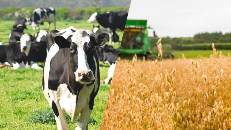 Dairy cows oats