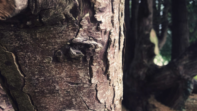 Castle Tree Bark